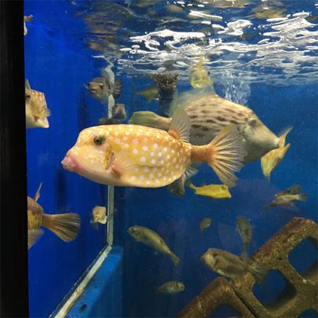 京大白浜水族館のハコフグ